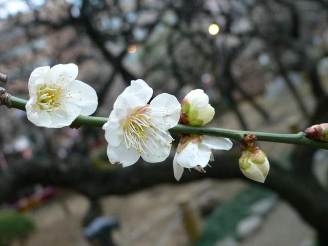 梅まつりに行ったときに撮影した梅の花